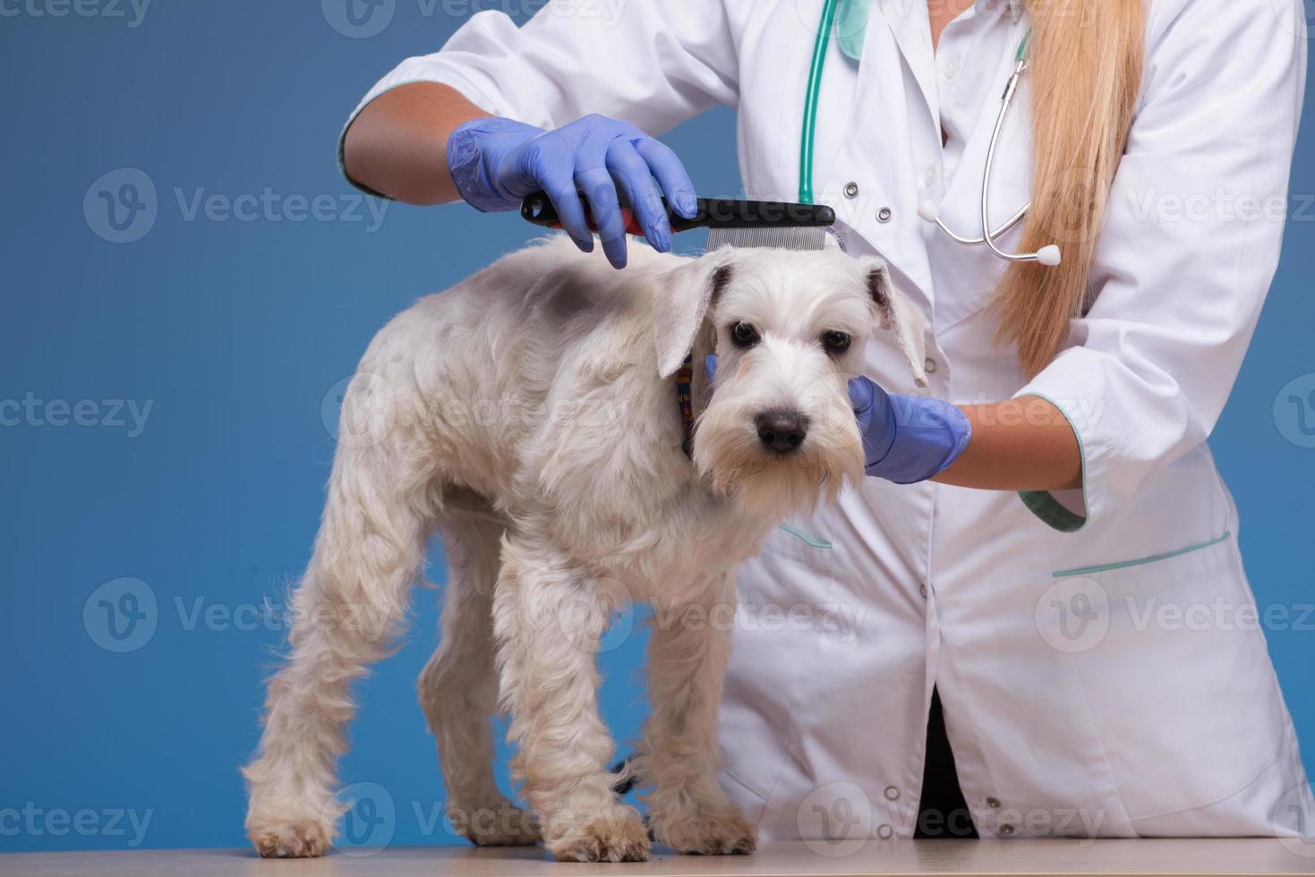 veterinario peinando un lindo perrito foto