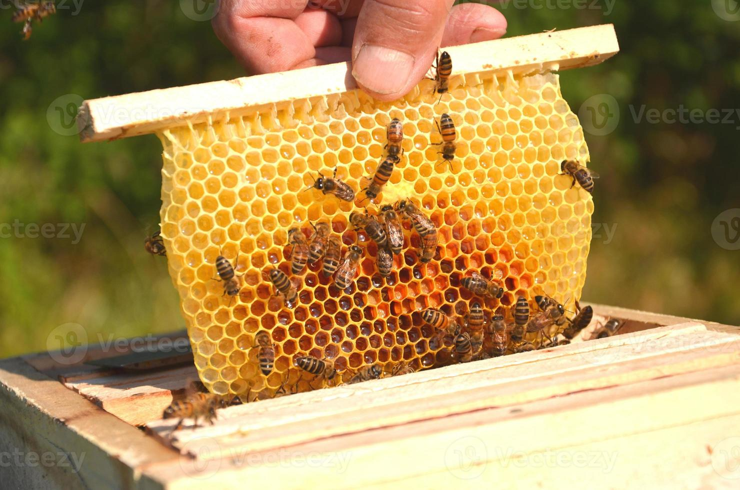 bees on small wedding honeycomb held by apiarist photo