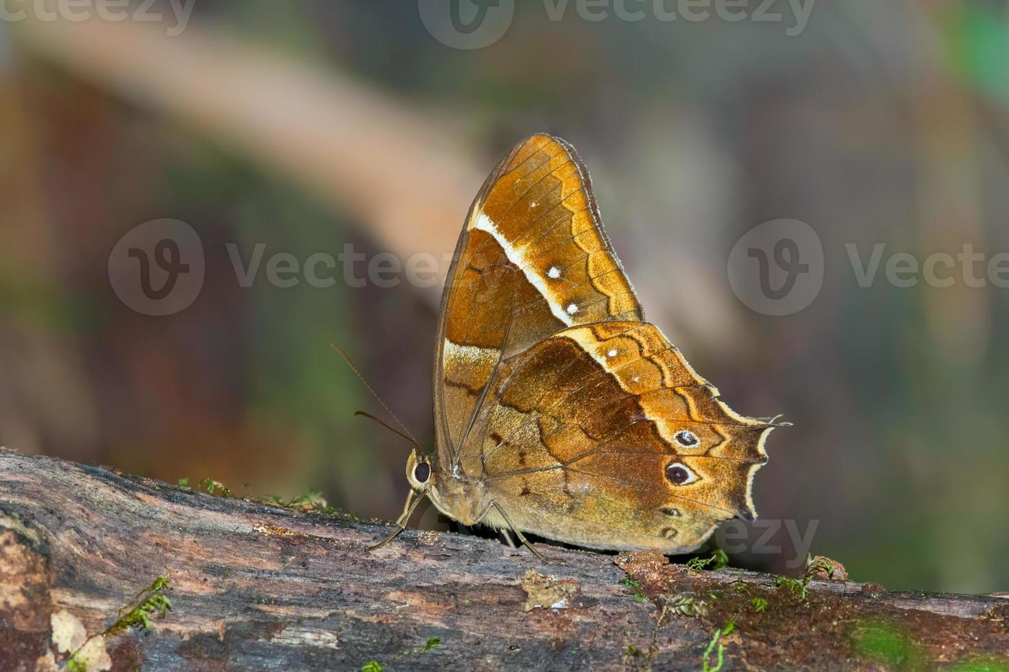 hermosa mariposa en la selva venezolana foto