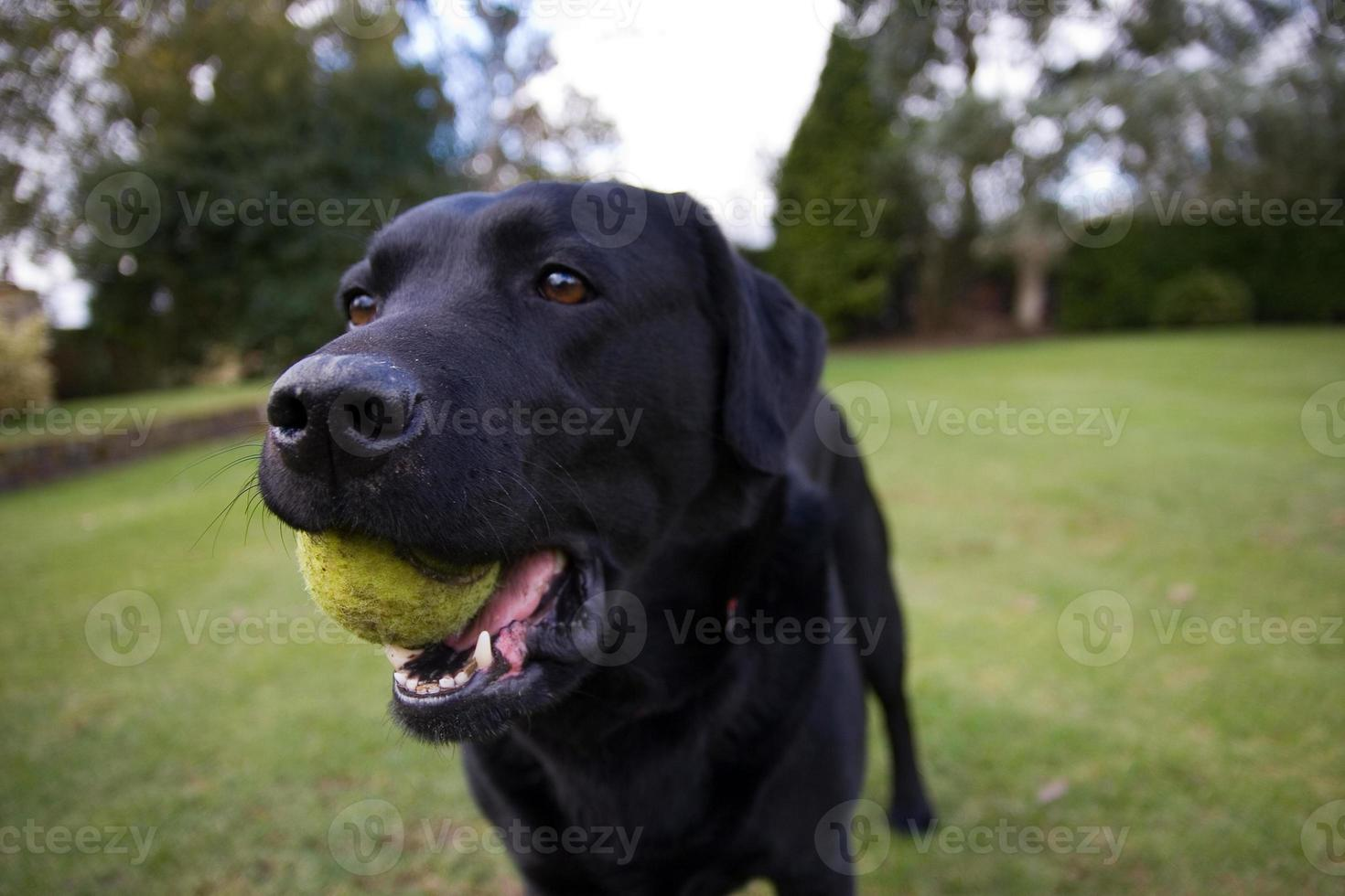labrador negro sosteniendo una pelota de tenis foto