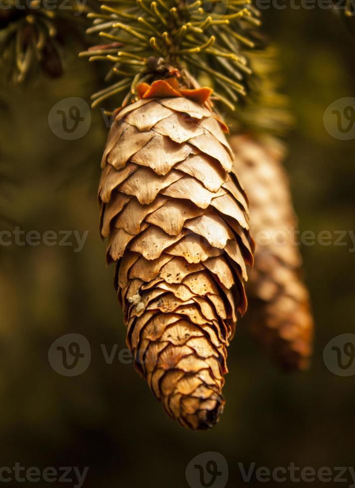 Fir cones photo
