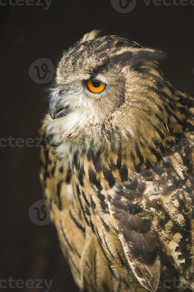Eurasian Eagle-owl portrait photo