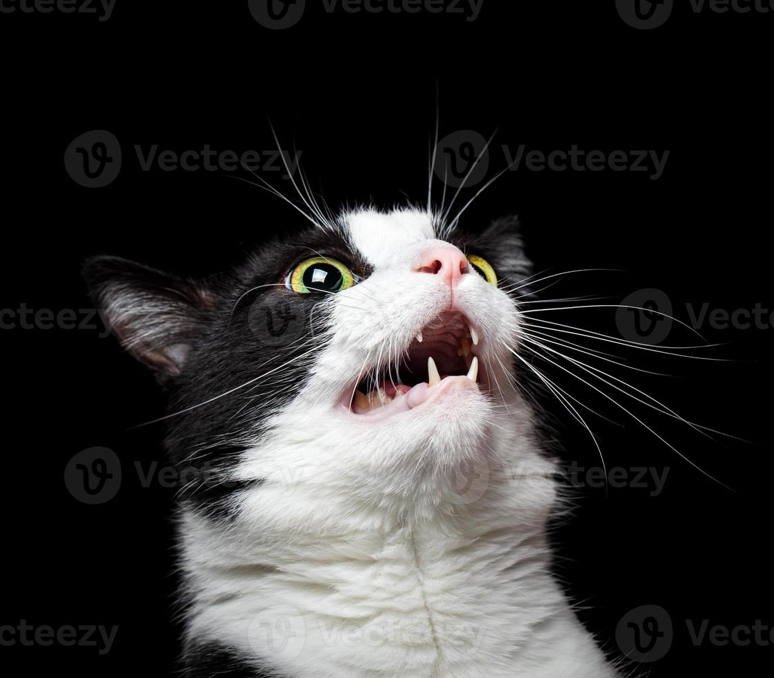 Portrait of an angry (or surprised) cat on black background photo