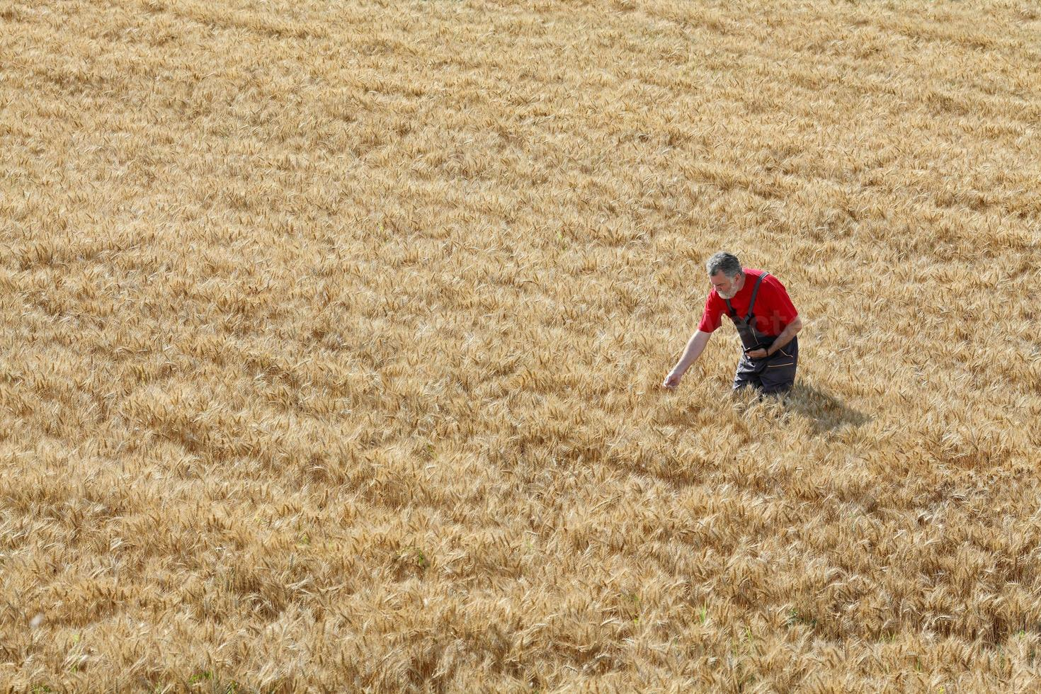 Escena agrícola, agricultor o agrónomo inspeccionar campo de trigo foto