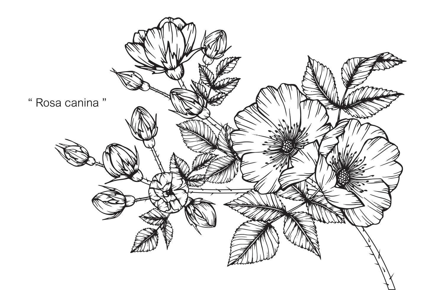 rosa canina flower vetor