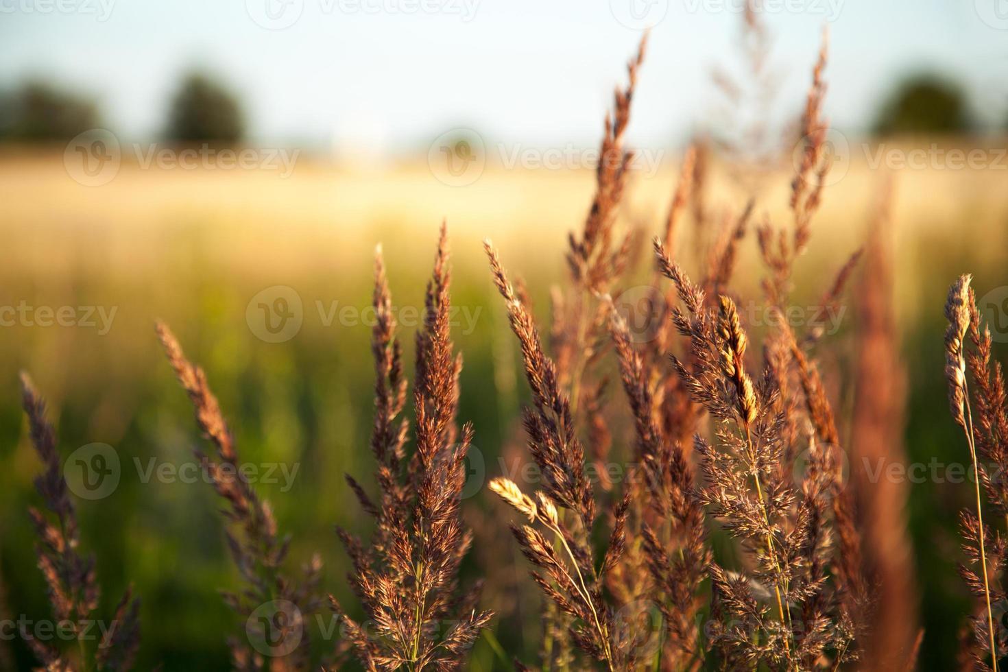 Lavendel am Weizenfeld foto