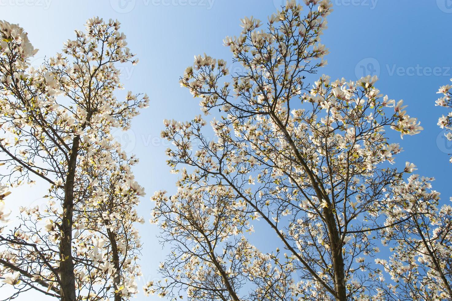 hermosas flores de magnolia en primavera foto