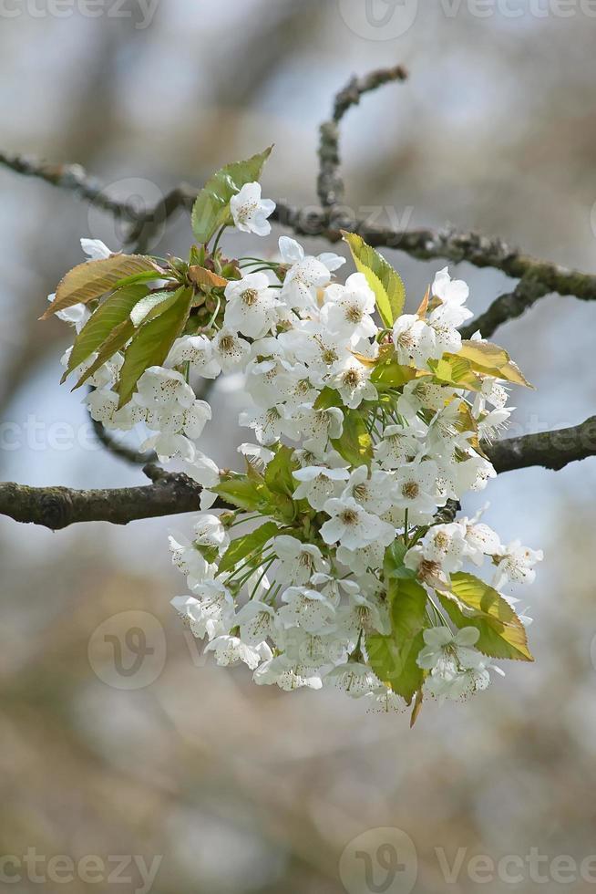 jardín de manzanas foto