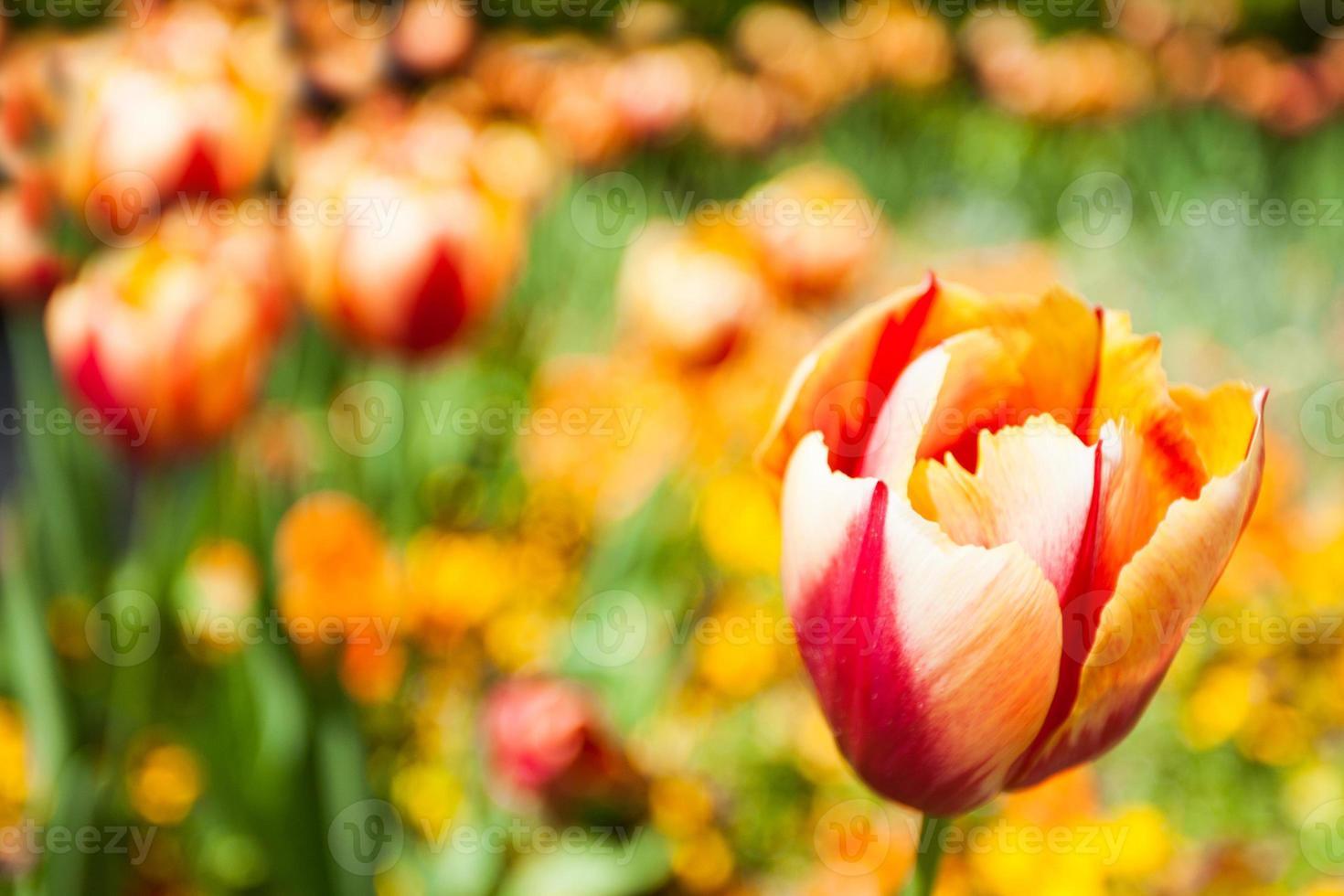 tulipán amarillo rojo foto