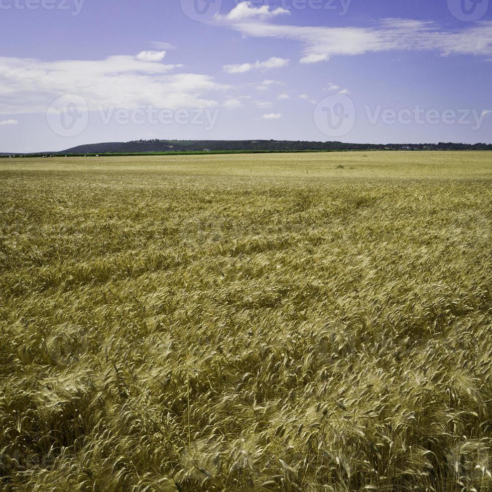 campo de trigo con colina en puglia. foto