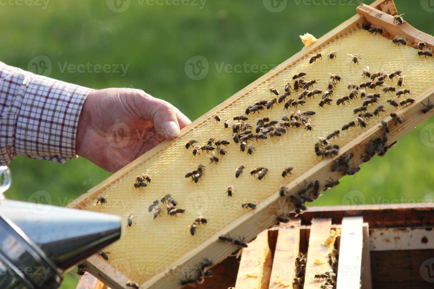 Bienen2 photo