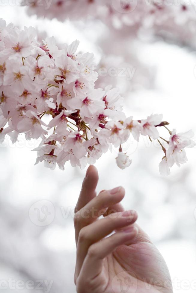 Hand of person trying to touch cherry blossoms photo