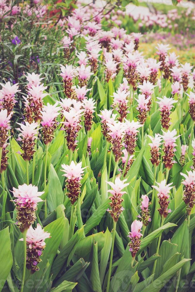 Curcuma alismatifolia or Siam tulip or summer tulip, Vintage Effect photo