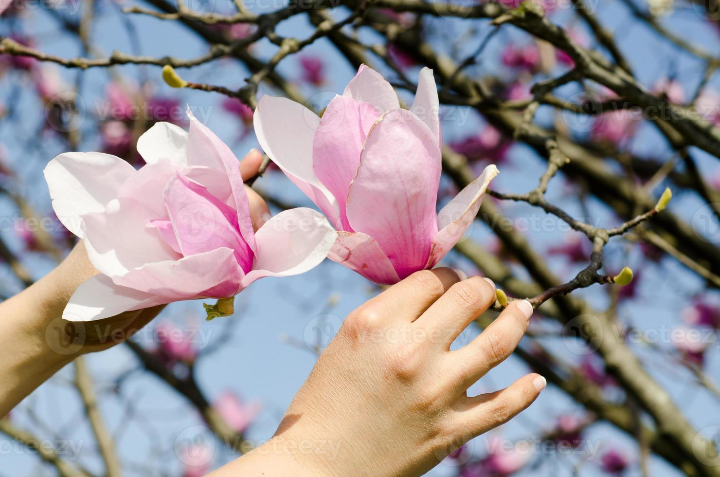 Magnolia flower photo