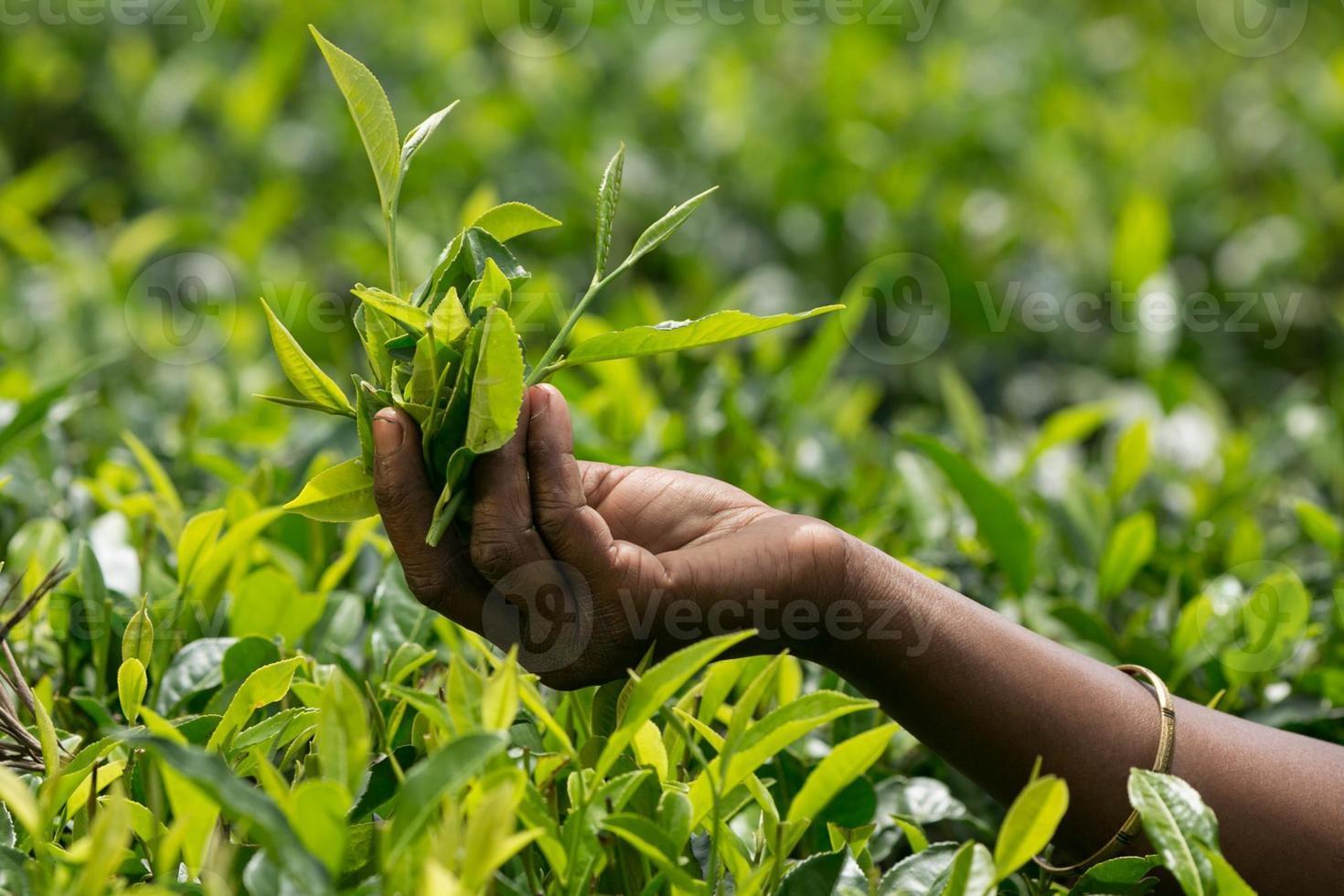 recogiendo hojas de té foto