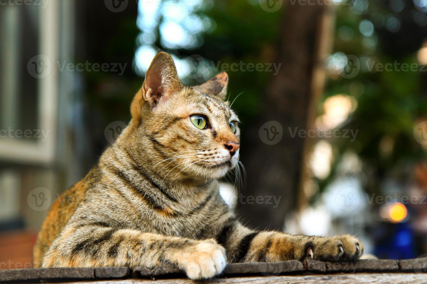 Tabby Brown Cat photo