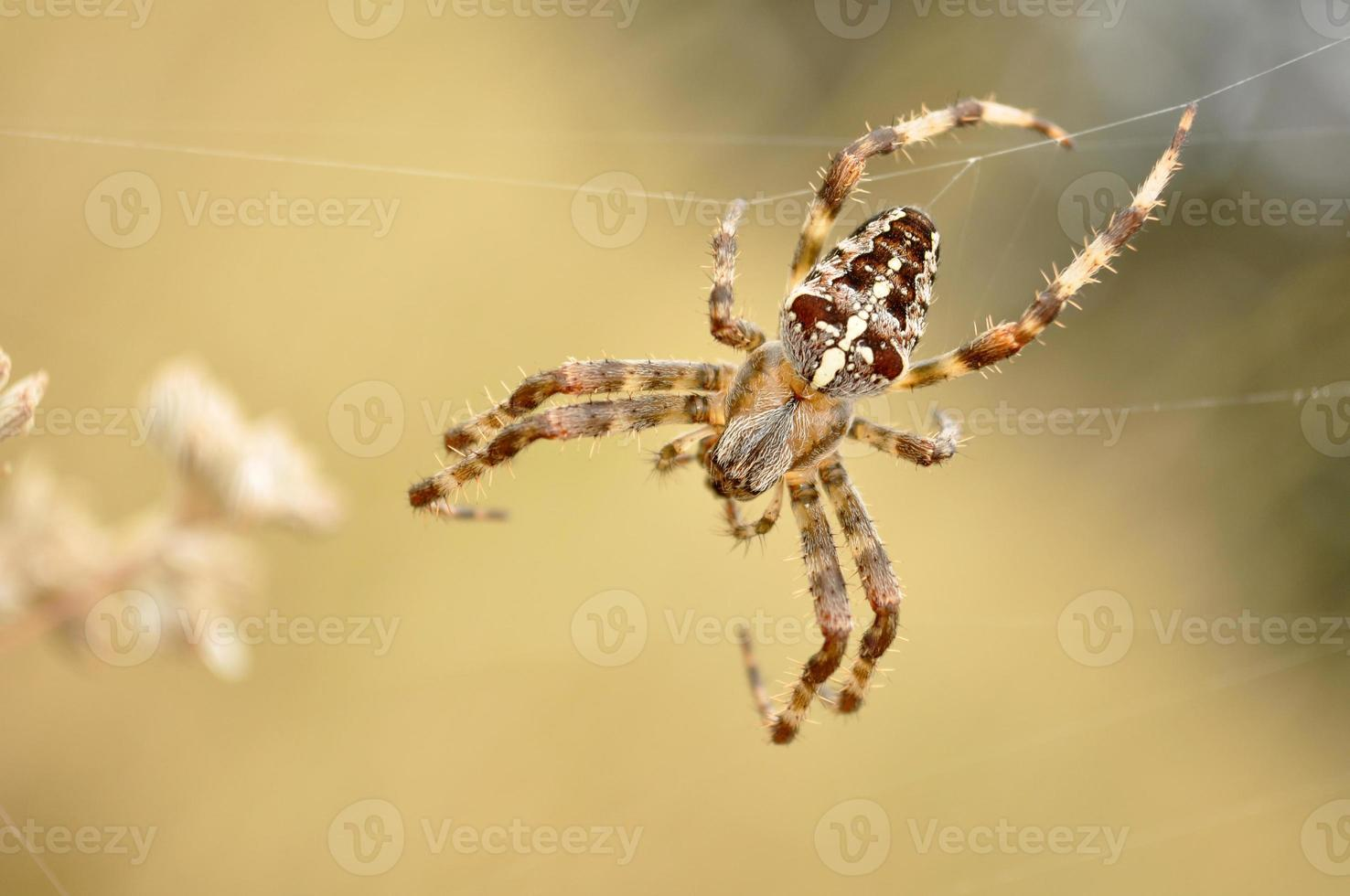 araña cruzada, araneus diadematus foto