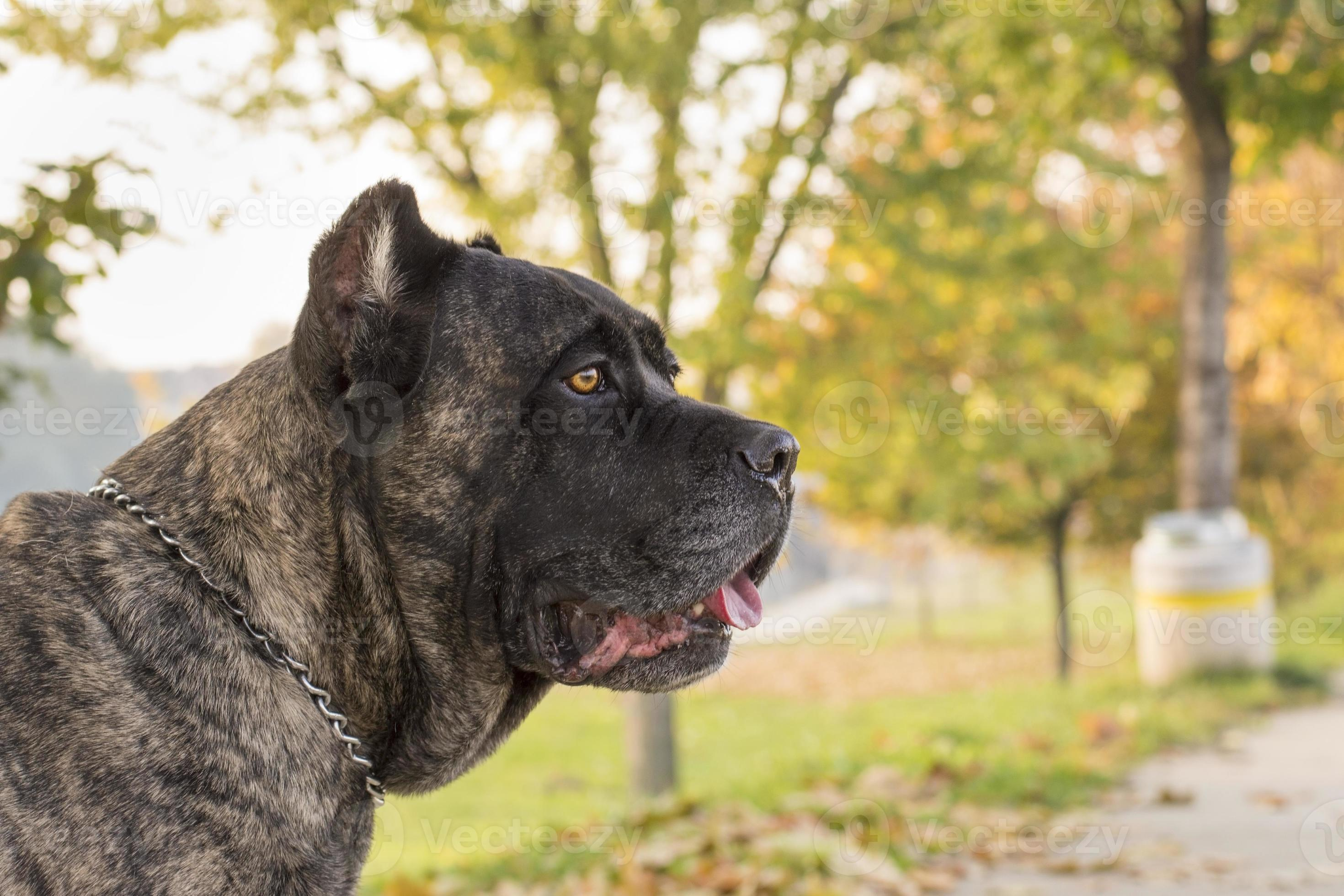 Portrait Of Beautiful Cane Corso Dog Standing Outdoors Stock Photo