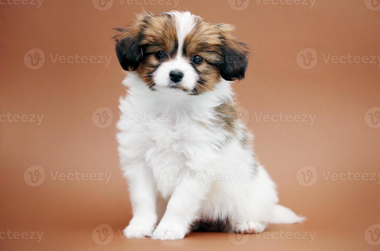 pequeño cachorro papillon foto