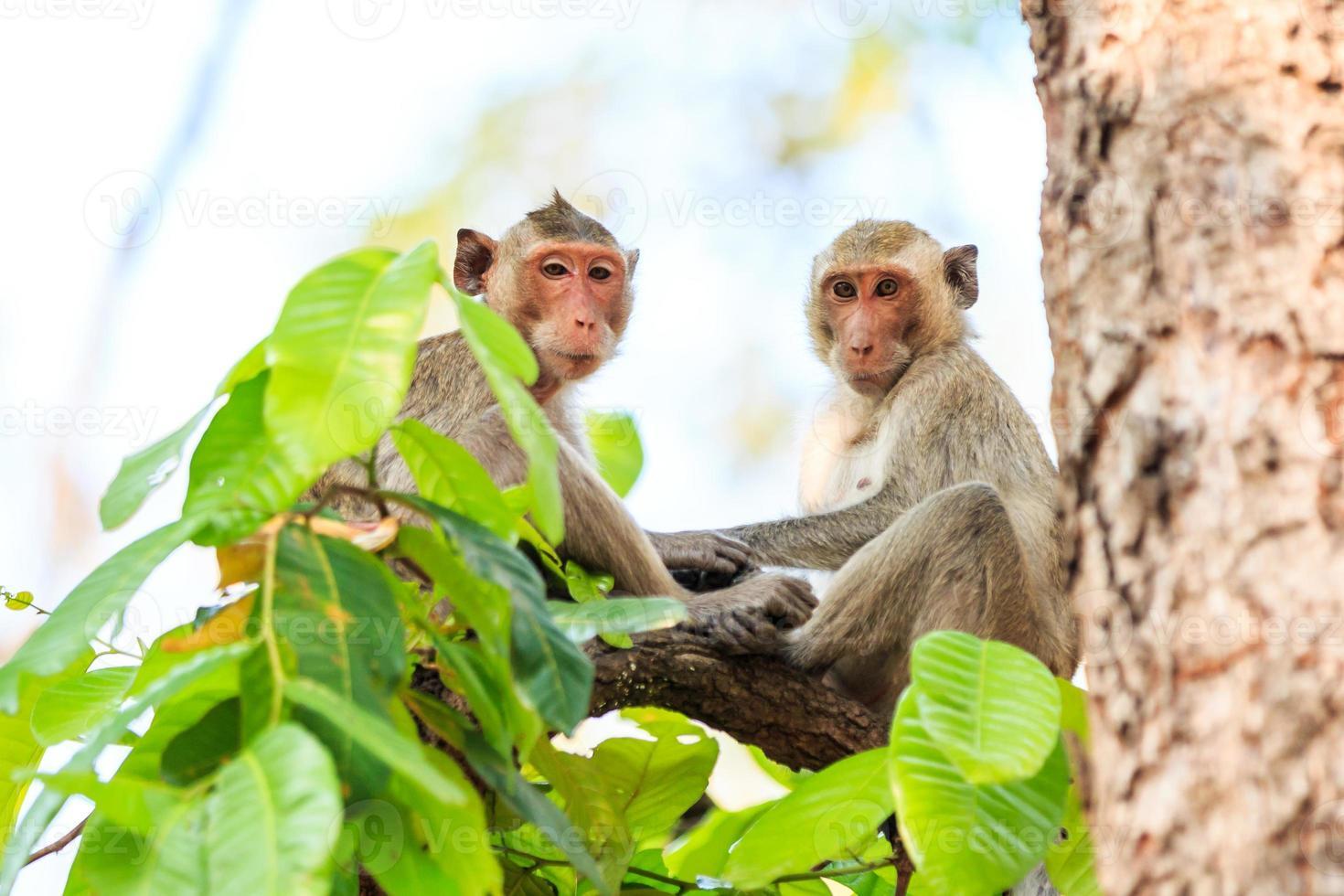Monos (macaco cangrejero) en el árbol en Tailandia foto
