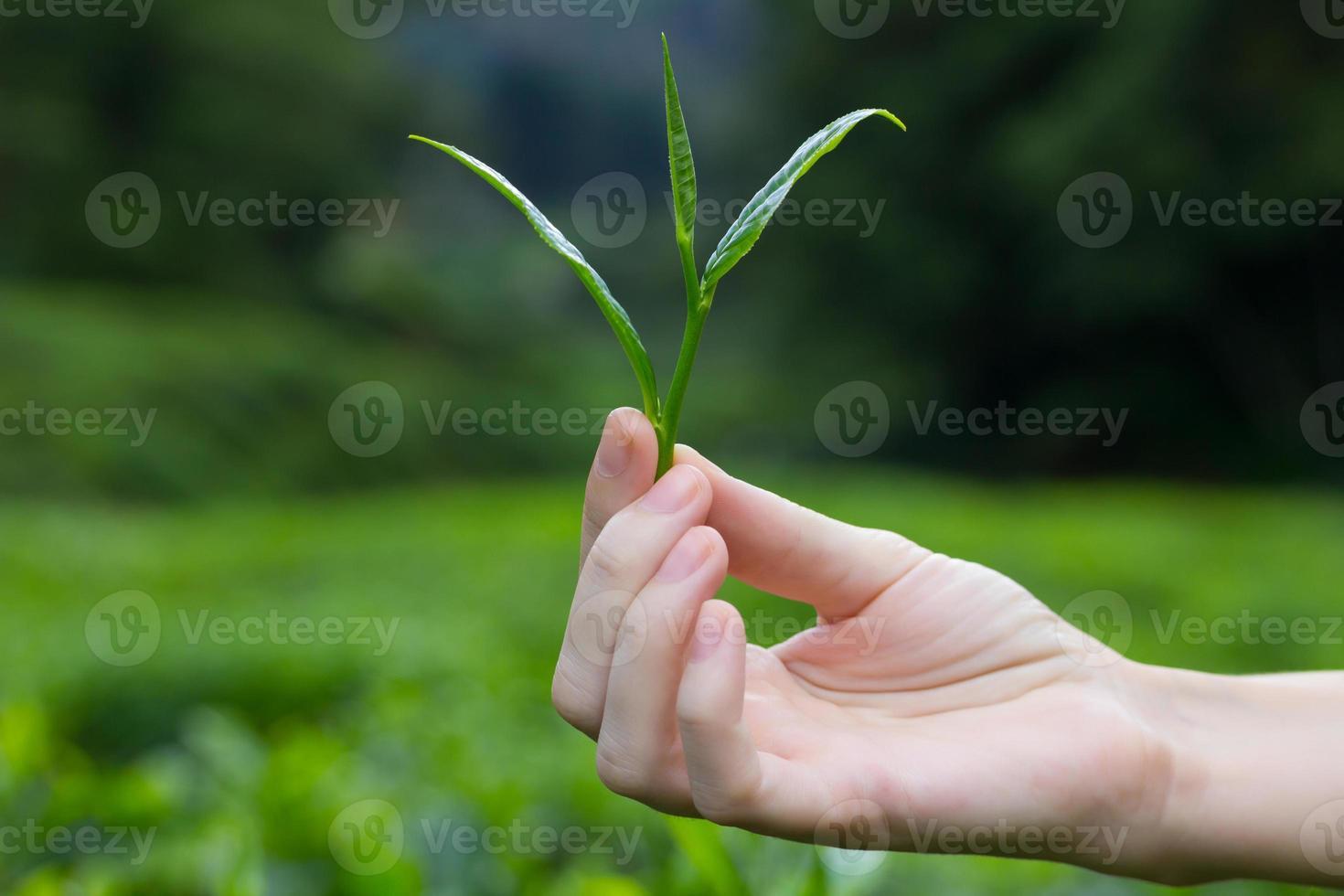 hojas de té frescas en los dedos foto