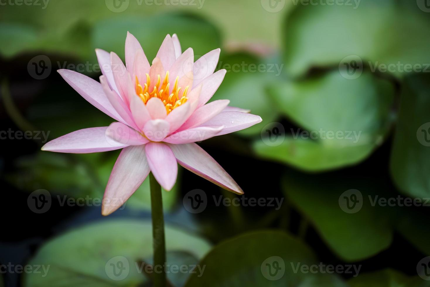 Close up beautiful pink waterlily or lotus flower in pond. photo