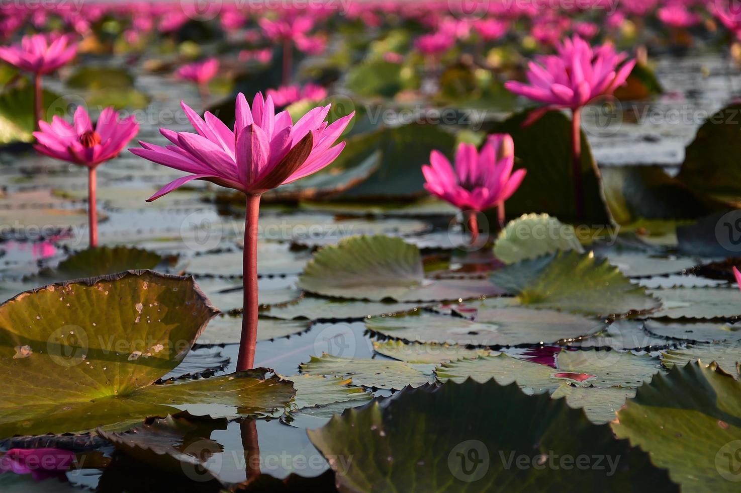 El mar de loto rosa, Tailandia foto