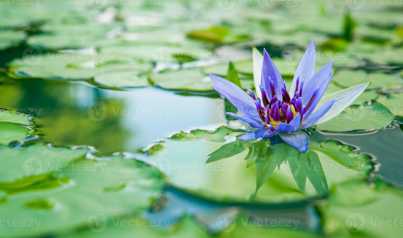 hermoso loto púrpura, planta de agua con reflejo en un estanque foto