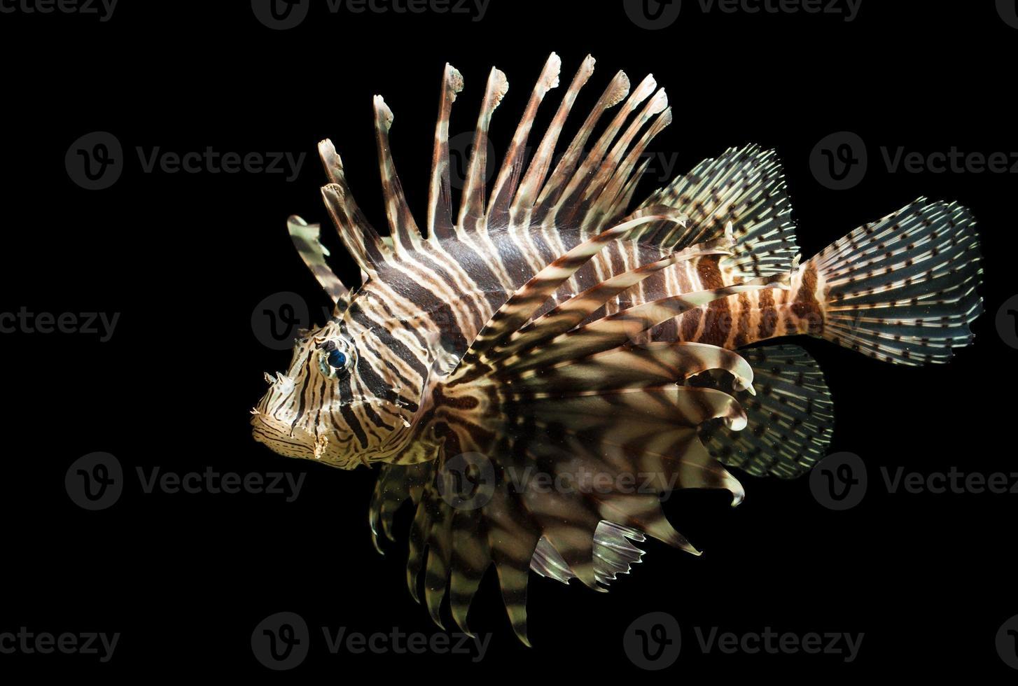 disparo aislado de un pez león foto