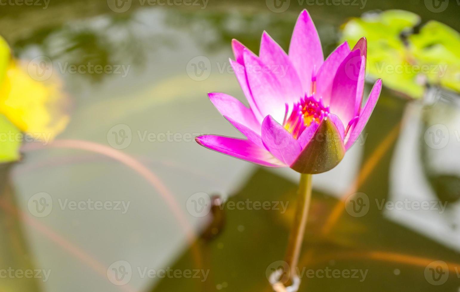 hermosa flor de loto rosa o nenúfar en el jardín foto
