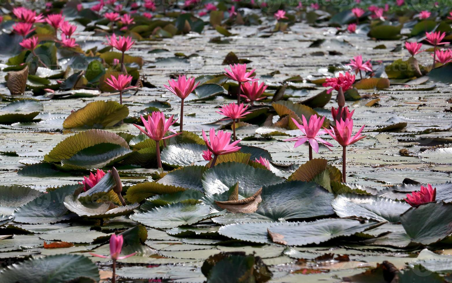 Nature Pink Water Lily flowers. photo