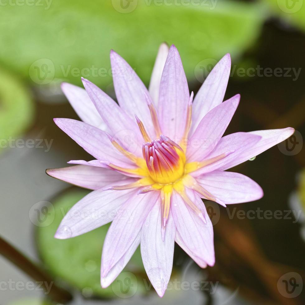 Hermosas flores de loto rosa. foto