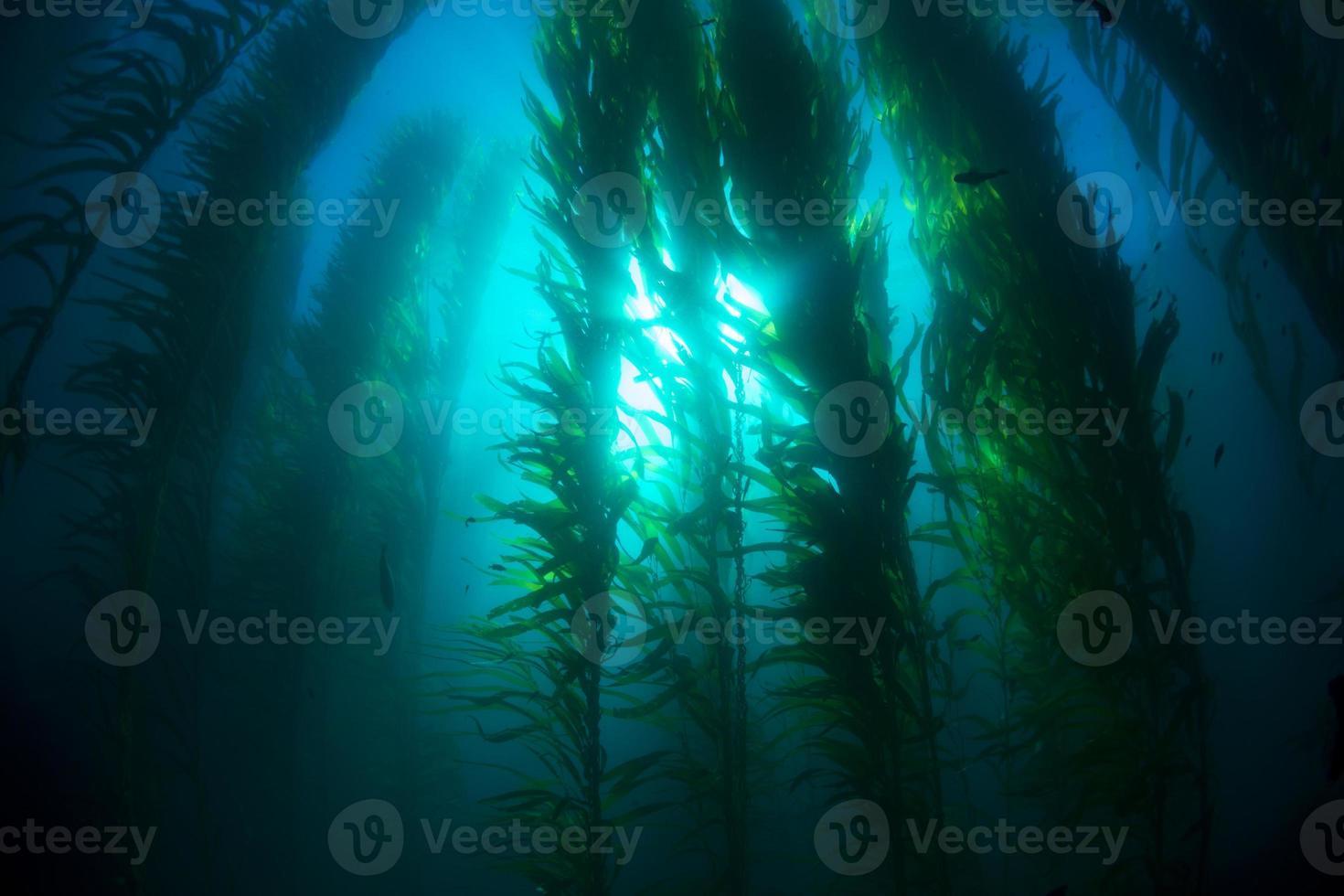 Kelp bed photo