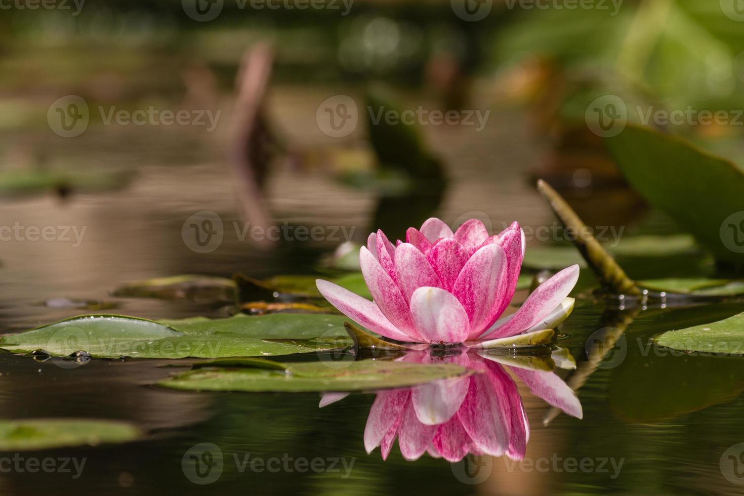 lirio de agua rosa y blanco foto