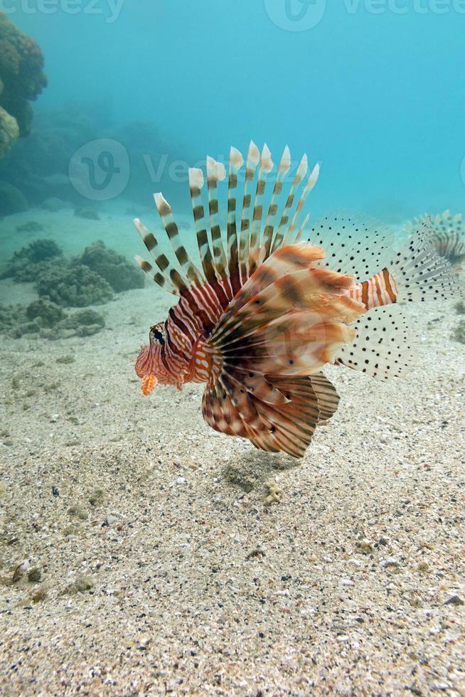 pez león en el fondo del mar tropical - bajo el agua foto