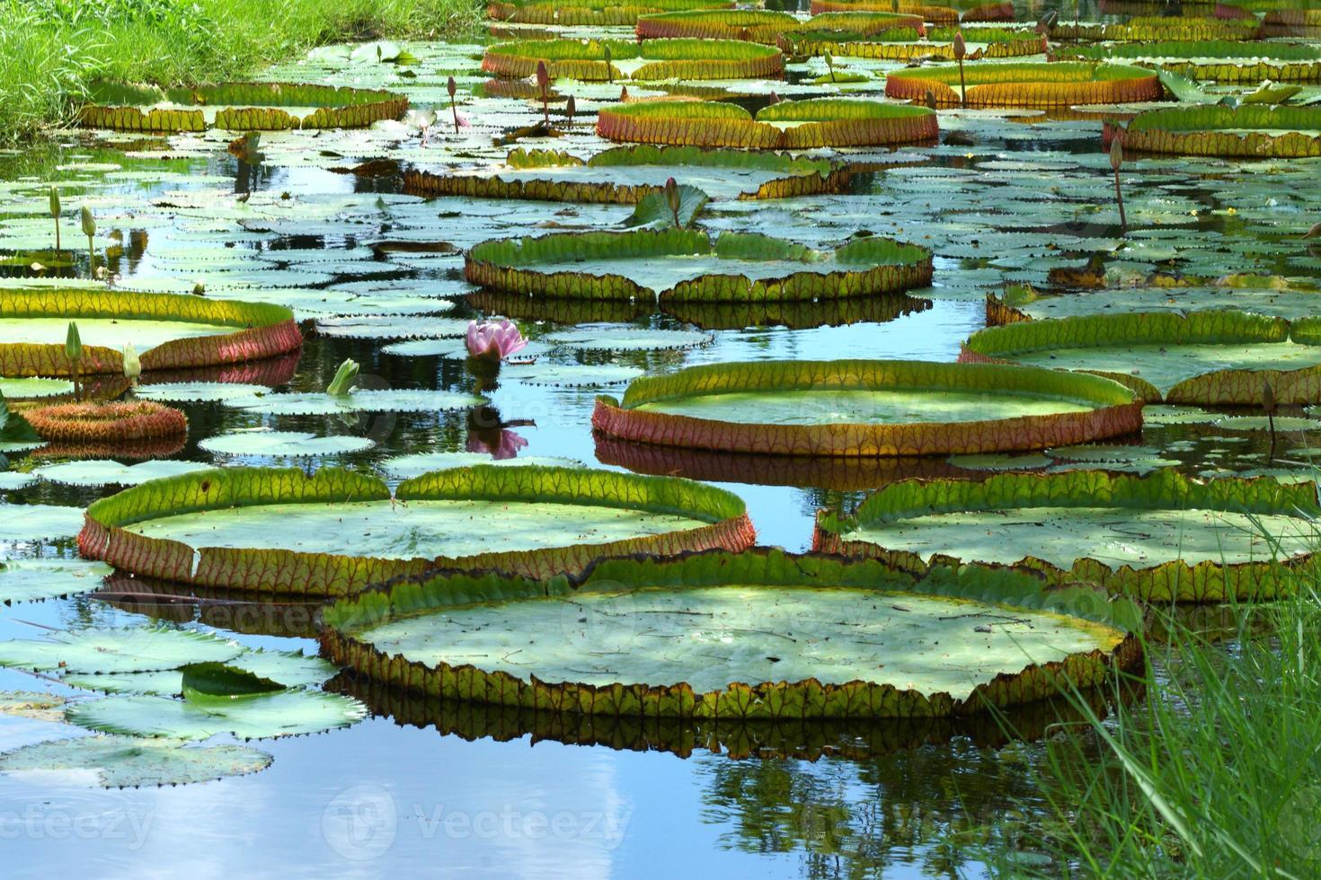 lirio de agua amazónica foto