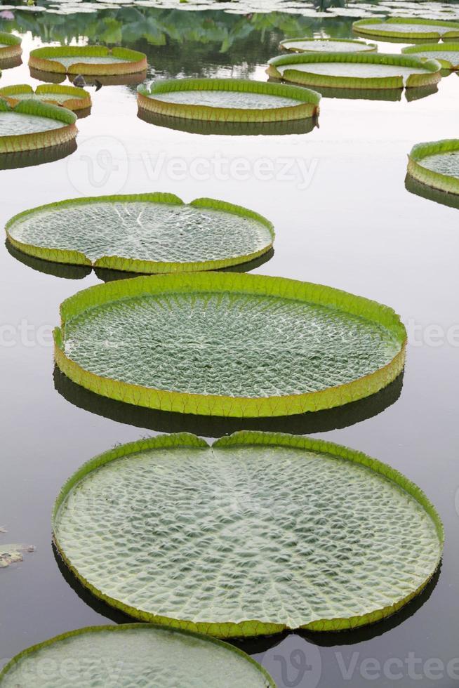 Victoria gigante planta de loto en agua foto