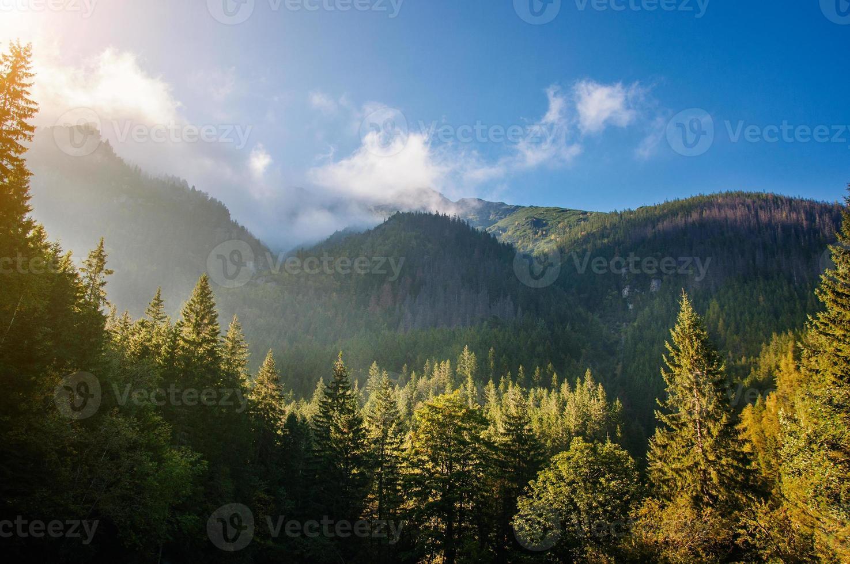 bosque de pinos foto