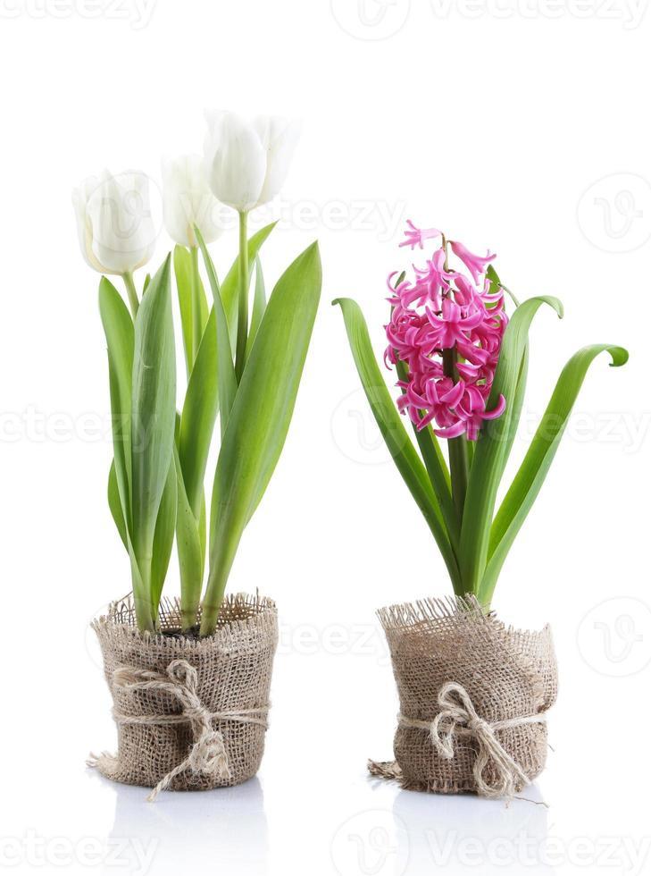hermosos tulipanes y flores de jacinto aisladas en blanco foto