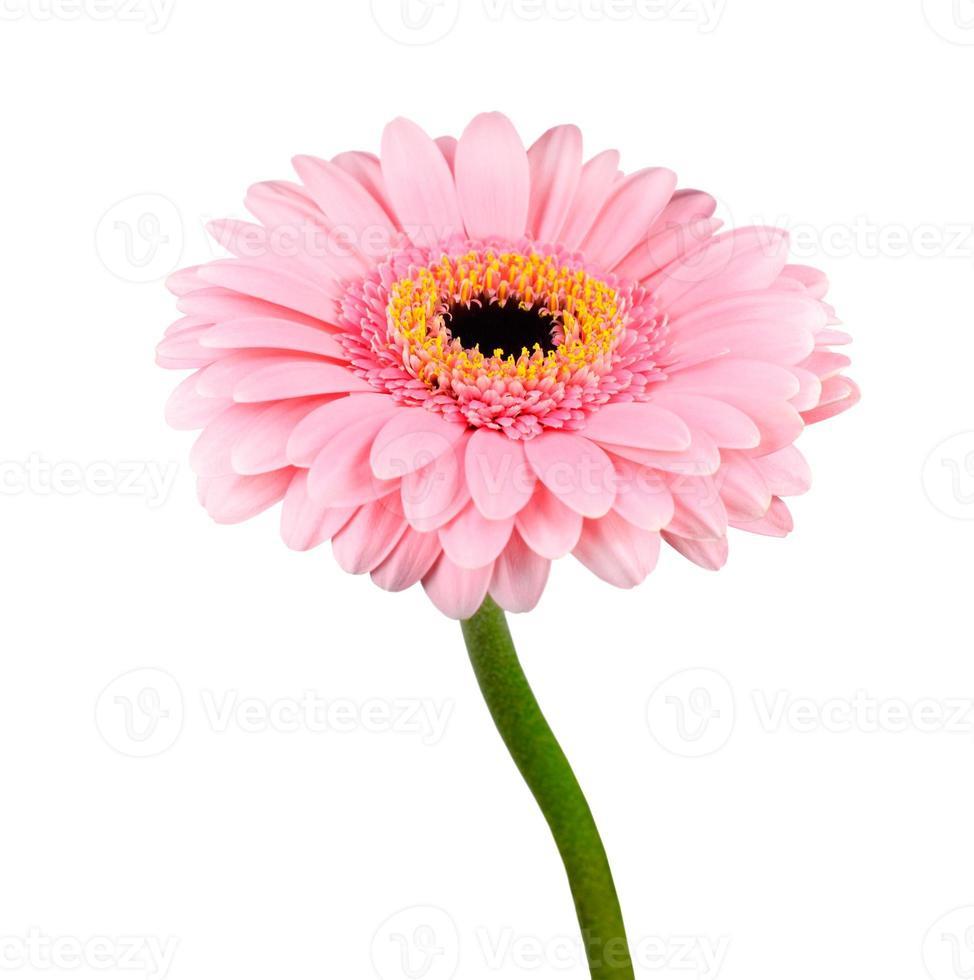 Flor de gerbera rosa con tallo verde aislado foto