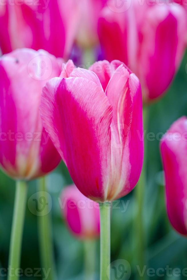 skagit valley oregon campos de tulipanes foto