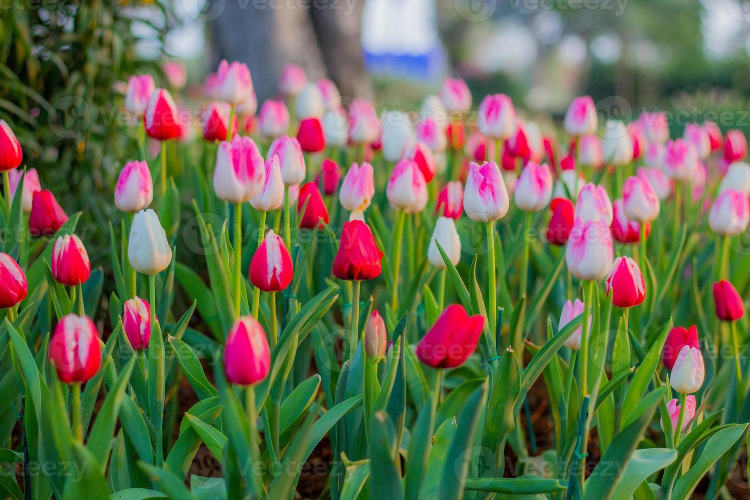 Flor de tulipán foto