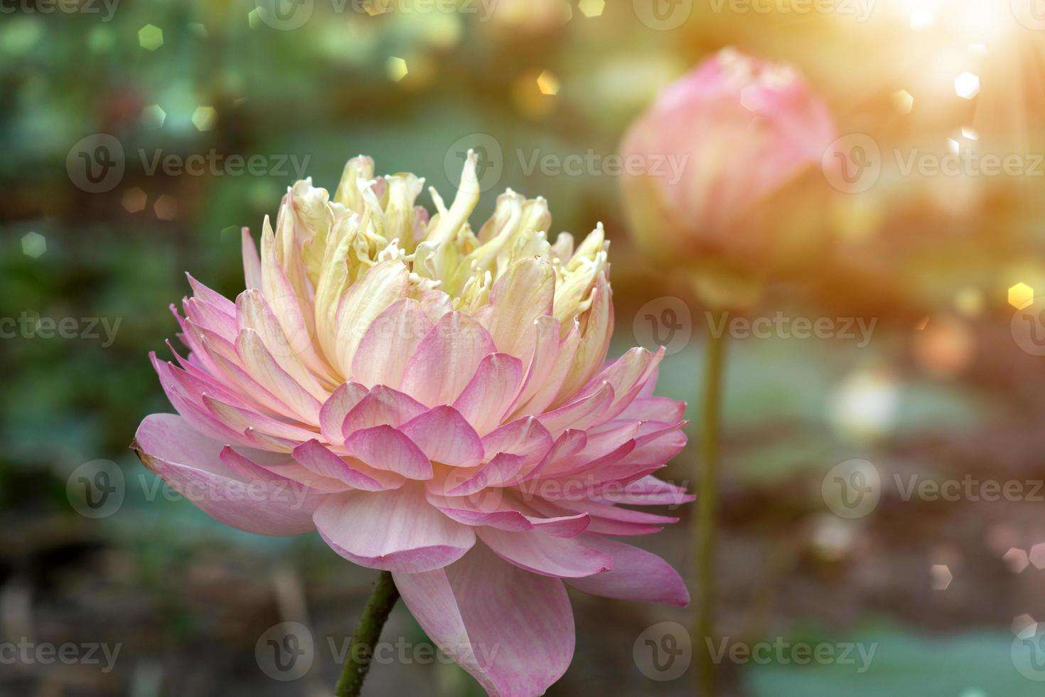 beautiful pink lotus flower in blooming photo
