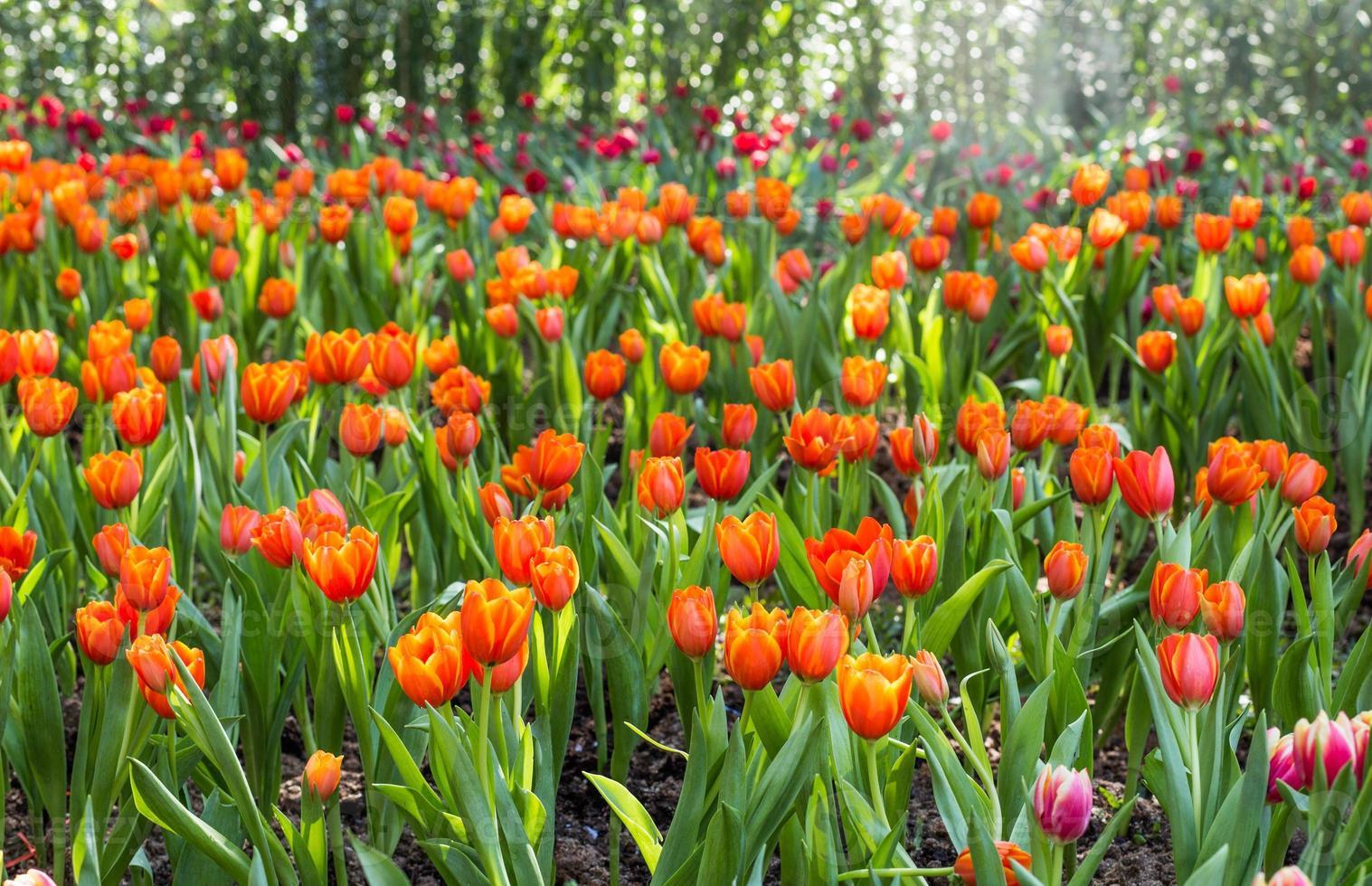 flor de tulipán naranja foto