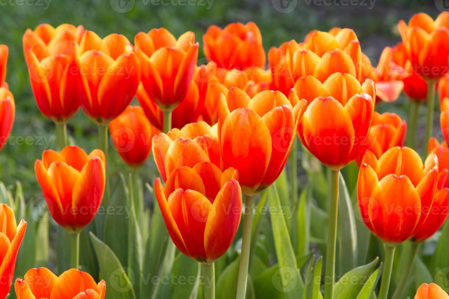 tulipanes de colores y otras flores en el parque real rajapruek. foto