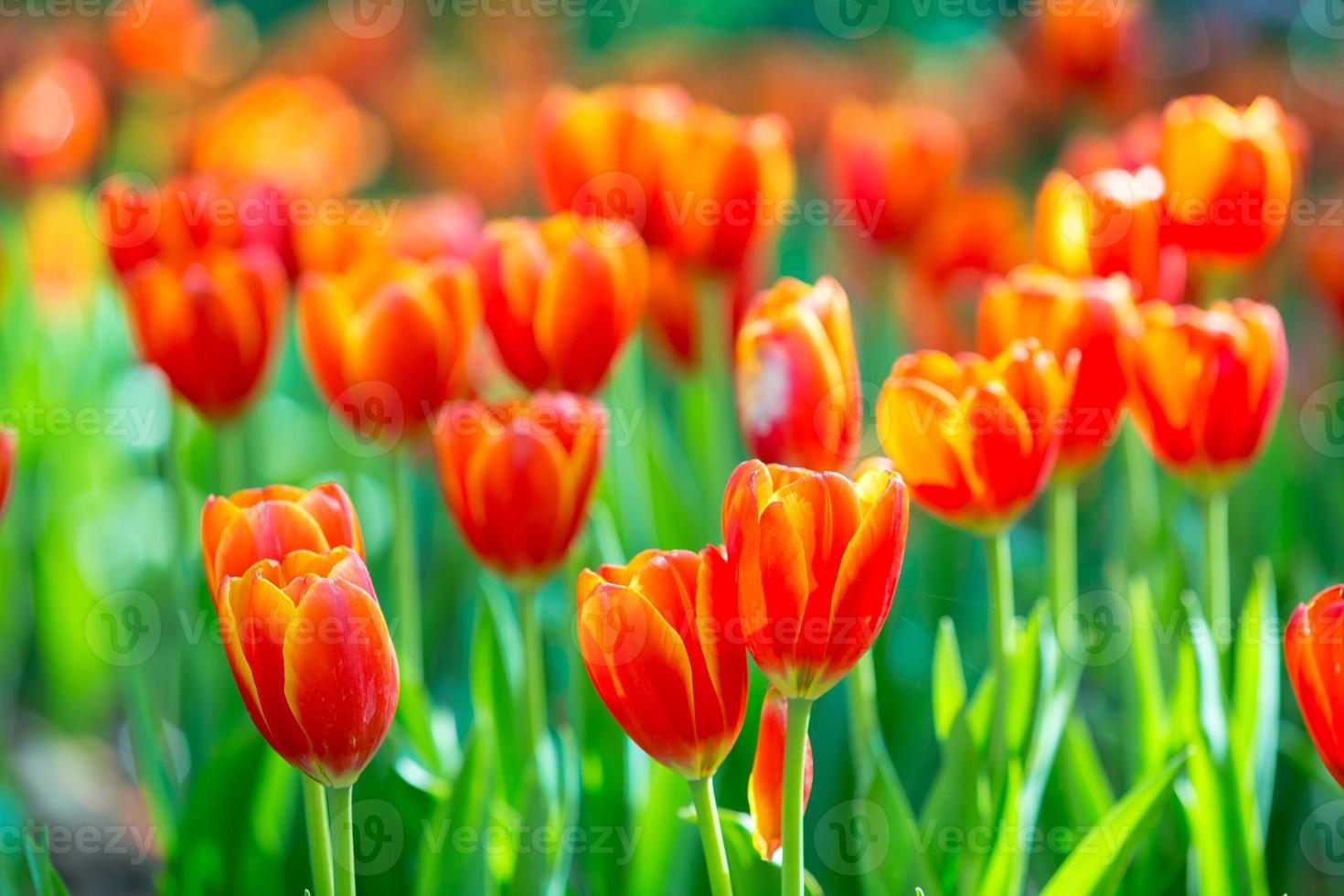 Blooming tulip plants in a large field. photo
