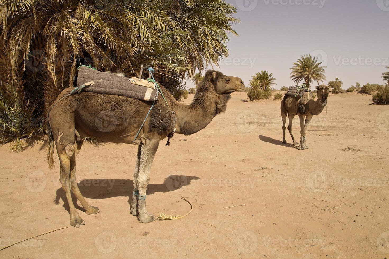 camellos marroquíes preparándose para caminar por el Sahara foto