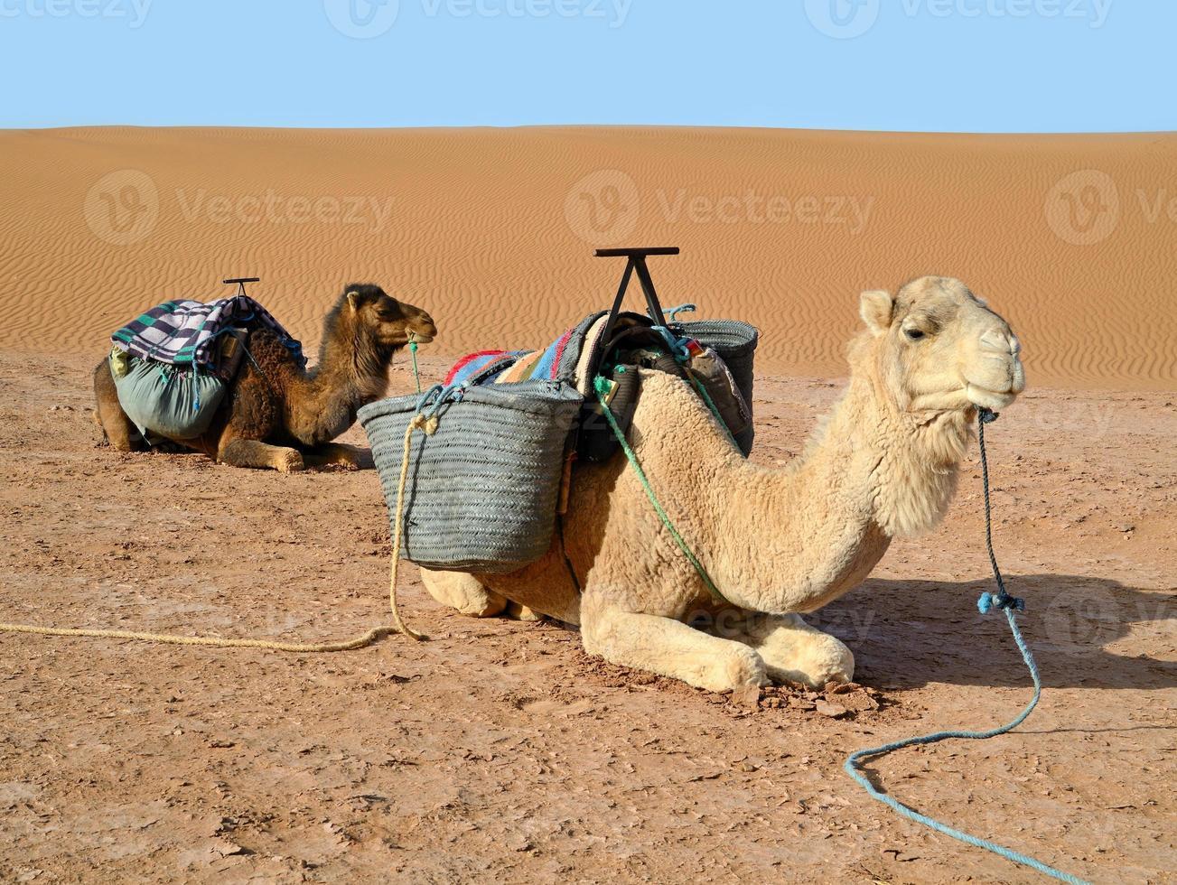 Camels in desert photo