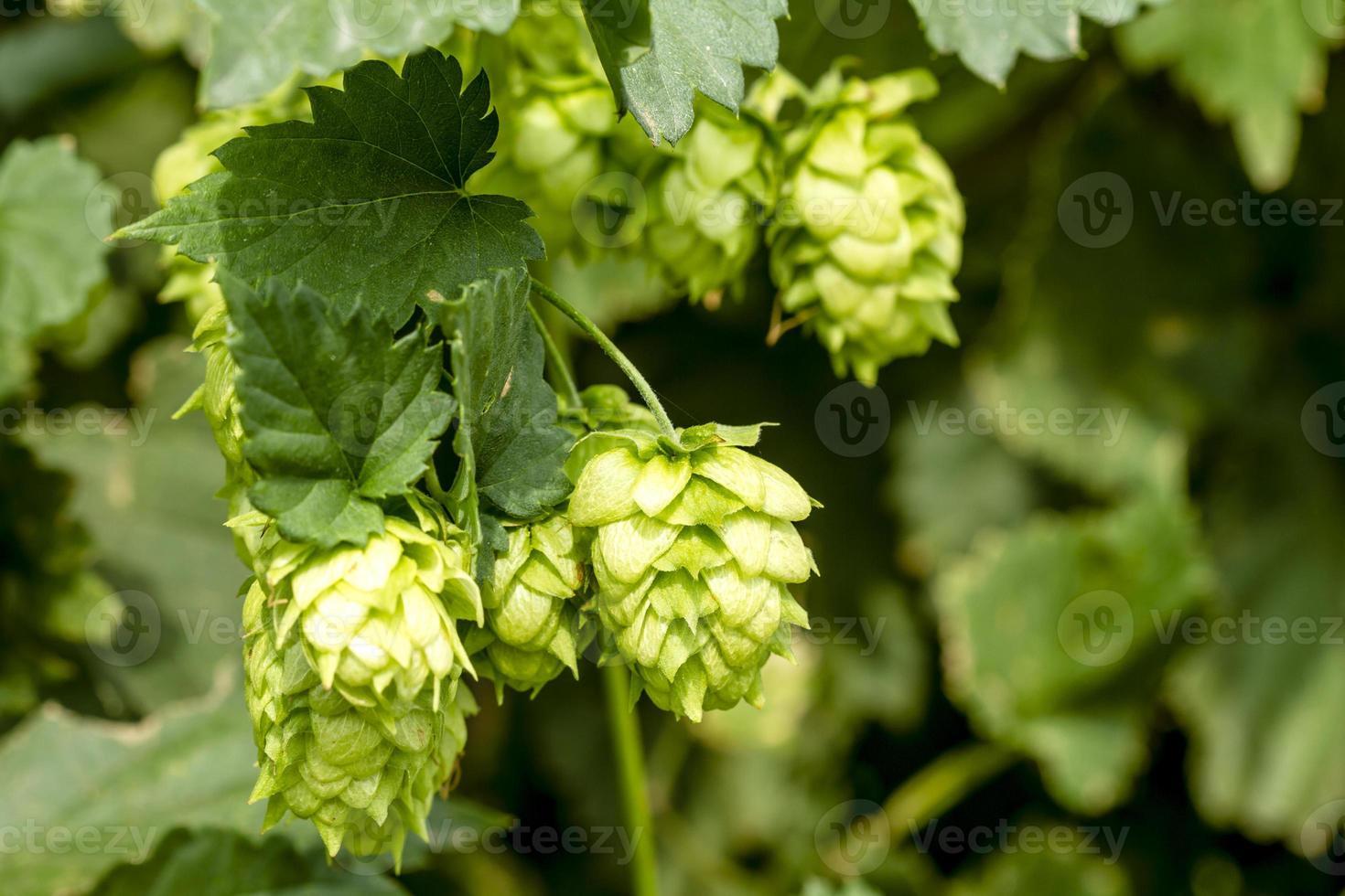 granja de lúpulo orgánico para elaborar cerveza foto
