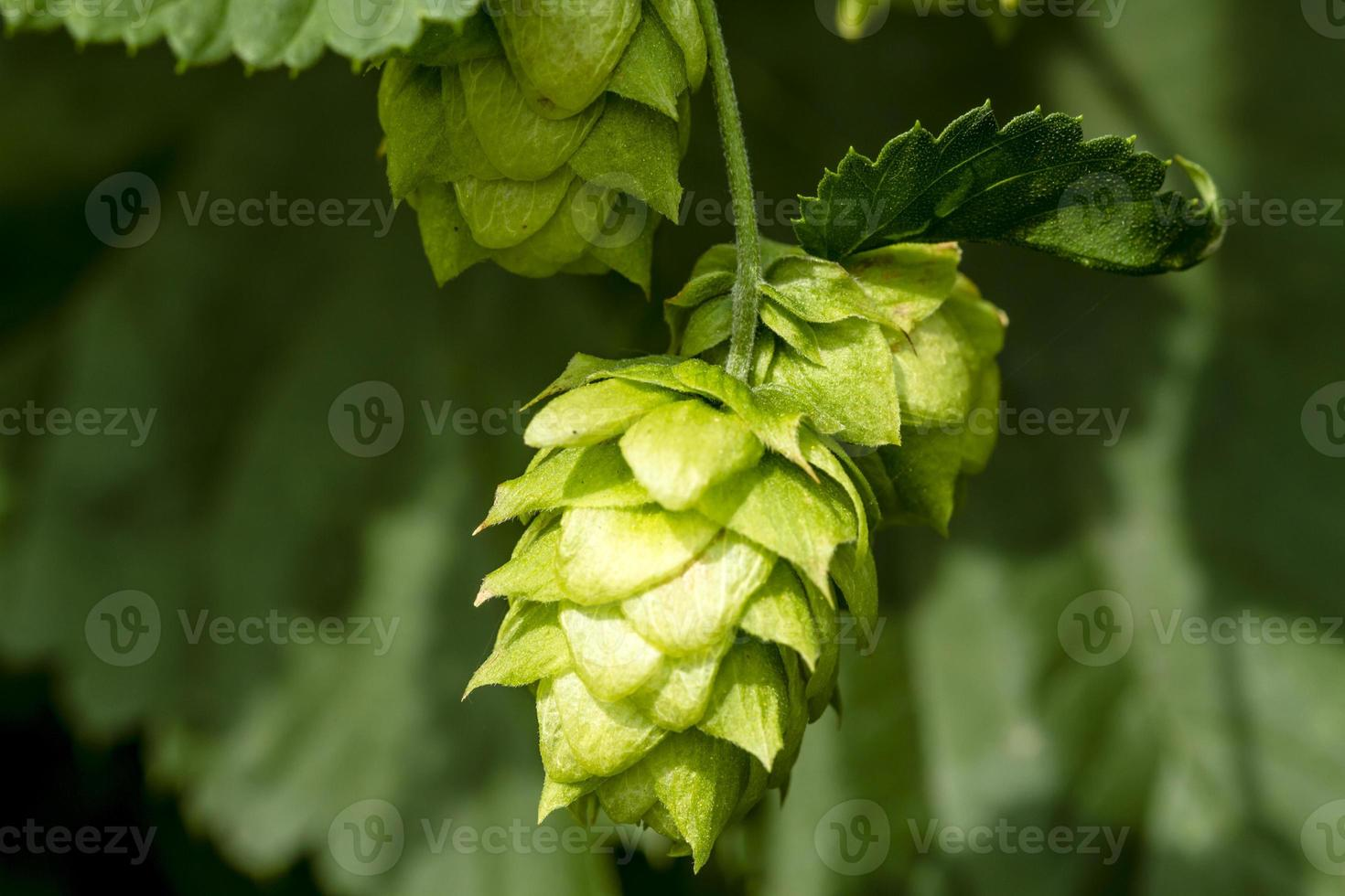 Organic Hops Farm for Brewing Beer photo